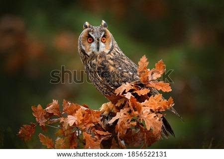 Owl in orange forest, yellow leaves. Long-eared Owl with orange oak leaves during autumn. Wildlife scene from nature, Russia.