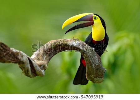 Bird with open bill, Chesnut-mandibled Toucan sitting on the branch in tropical rain with green jungle in background. Wildlife scene from nature.