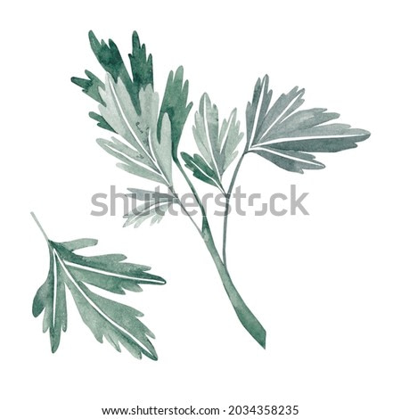 Watercolor parsley on a white background hand-drawn for product design