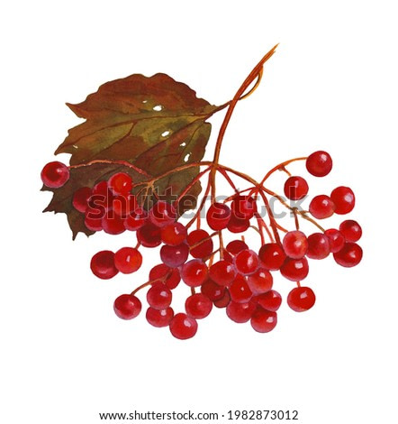 A bunch of viburnum on a white background.Watercolor painting. Botanical illustration.