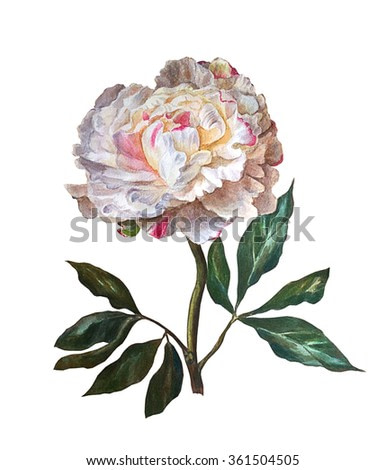 Peony isolated on a white background. Botanical illustration. Watercolor painting.