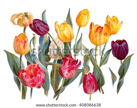 Colorful tulips, isolated on white background. Floral background. Botanical illustration. Watercolor painting.
