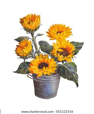 Sunflower, isolated on white background.Watercolor painting.