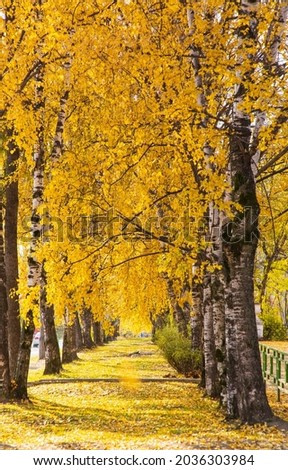 Autumn birch alley in yellow leaves.