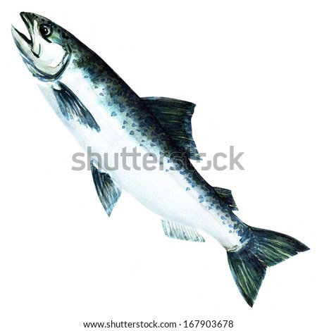 chinook salmon fish. watercolor painting on white background