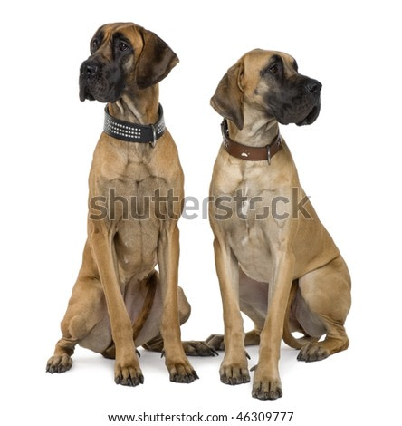 Two Great Danes, 1 year old, sitting in front of white background