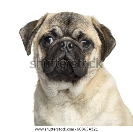 Close-up of a Pug, 7 months old, isolated on white