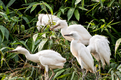 Young white egret